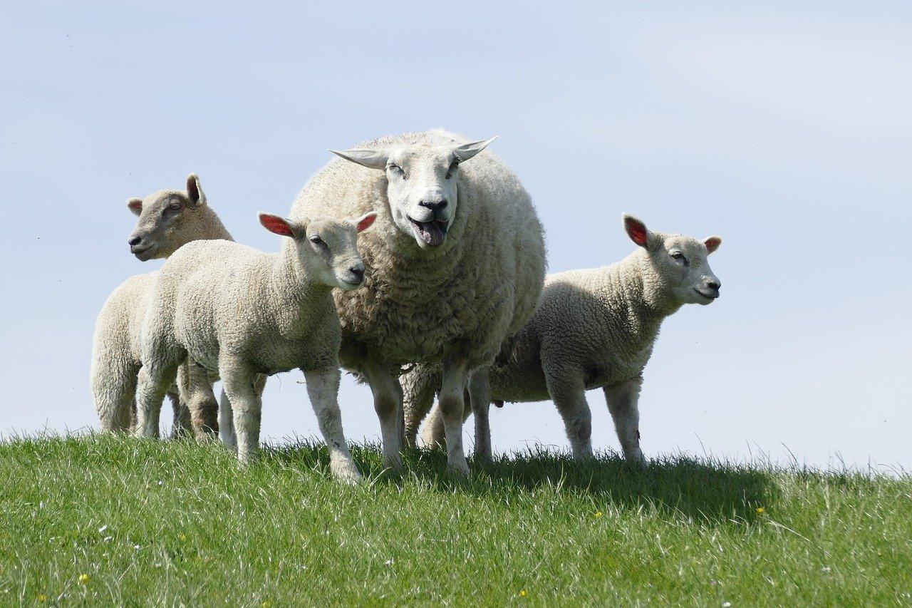 Wie nennt man einen Mann, der Schafe schlägt?
